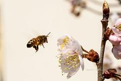 벌  bee (Daegeon Shin) Tags: nikon d750 nikkor 55mmf28 벌 bee plum ciruelo flor flower hovering flotando 니콘 니콘렌즈 매화 매실나무 꽃 동물 곤충 animal insect insecto
