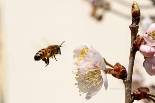 벌  bee