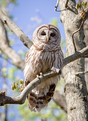 Barred Owl (tresed47) Tags: 2017 201704apr 20170418bombayhookbirds barredowl birds bombayhook canon7d content delaware folder owl peterscamera petersphotos places takenby us specanimal ngc npc