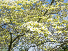 Flowering dogwood (melastmohican) Tags: shrub spring season nature floral cornus flower beauty bloom deciduous white florida garden blooming plant dogwood beautiful flora tree cornaceae blossom botanical outdoors green petal branch springtime flowering sacramento california unitedstates us