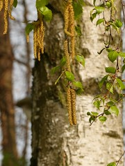 Catkins on the Silver Birch... (Christa_P) Tags: nature tree baum blüte blossom catkins kätzchen outdoor birke hängebirke betula betulapendula sandbirke marienkäfer ladybug ladybird