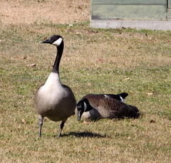 Canada Geese. (dccradio) Tags: lumberton nc northcarolina robesoncounty outside outdoors nature spring geese goose canadagoose canadageese animal waterfowl bird grass lawn greenery shadow
