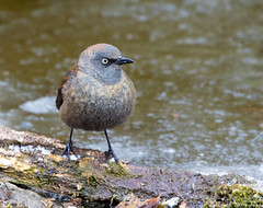 Rusty Blackbird (Nick Saunders) Tags: rustyblackbird rusty blackbird water pond bathe bath drink drinking saskatchewan spring ice frozen froze cold