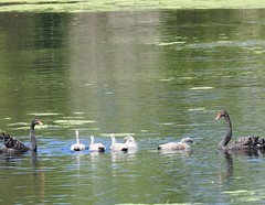 Black Swan Family (Free_aza_Bird) Tags: black swan male female cygnets coolarthomesteadandwetland somersvictoriaaustraliabirds