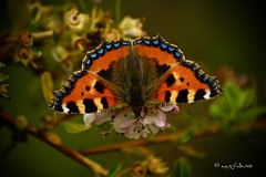 show me your true colours... (ggcphoto) Tags: butterfly colour beauty closeup fauna flora nature macromondays