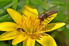 Meliscaeva auricollis and Nitidulidae (AglaiaBouma) Tags: insects entomology hoverfly fly diptera syrphidae meliscaeva auricollis sap beetle nitidulidae zweefvlieg glanskever kever coleoptera nature