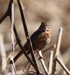 Red Fox Sparrow (Passerella iliaca iliaca) 03-20-2017 Mariner Point Park, Harford Co. MD 2 (Birder20714) Tags: birds maryland sparrows emberizidae passerella iliaca