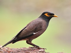 Common Myna (SivamDesign) Tags: canon eos 550d rebel t2i kiss x4 300mm tele canonef300mmf4lisusm kenko pro300 caf 14x teleplus dgx bird fauna common indian myna commonmyna acridotherestristis chirakkalchira