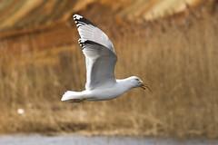 Gull (Artur Rydzewski) Tags: gull mewa mewabiałogłowa bird eatingbird nature caspiangull laruscachinnans ptak białyptak orange sunrise