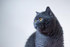 Kisa (Tadas Telksnys) Tags: lietuva lithuania kisa cat britishshorthair portrait catportrait feliscatus graycat greycat flash artificiallight