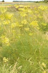 Peucedanum officinale. Hog's Fennel. (All Botanical Photography) Tags: hogsfennel peucedanumofficinale apiaceae umbelliferae