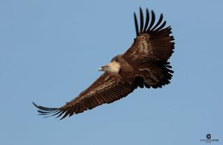 Griffon vulture (Gyps fulvus) - Buitre Leonado (Gyps fulvus)