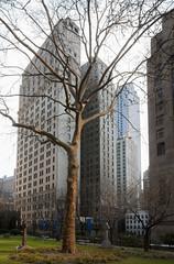 Tree in Sunlight at the Trinity Chapel, NYC, 2017 (Jack Toolin) Tags: jacktoolin cities urban nyc newyorkcity trees urbantrees nature urbannature