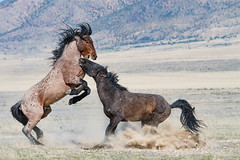 Wild Horses (cuddleupcrafts) Tags: wild horse onaqui herd west desert utah wildlife photography herds horses stallions fighting roan red