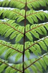 Natures Marvel (Tones Corner) Tags: fern closeup macro green nzbeauty nzscenic nzbush canon60d
