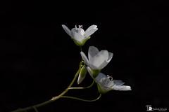 What a Wonderful World (kimedwards1123) Tags: 2017 lowkey photochallenge week15 macro 105mm flower spring