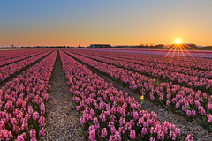 Nederland ruikt lekker (zsnajorrah) Tags: nature agriculture flowers bulbs field hyacinth sky sun sunset evening goldenhour ruleofthirds concours 7dmarkii ef1635mmf4l netherlands voorhout