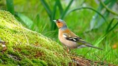 Pinzón vulgar  Fringilla coelebs (Maflay28) Tags: fringillacoelebs pinzónvulgar fringilidos aves birds photobirds fotografía naturaleza
