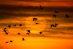 Sandhill Cranes (Grus canadensis) in flight against the setting sun near Wood River, Nebraska (diana_robinson) Tags: gruscanadensis nebraska sandhillcrane sunset woodriver annualmigration birdsinflight flockofbirds redball settingsun