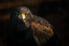 Harris's hawk (Jon David Nelson) Tags: harrisshawk parabuteounicinctus birdsofprey birds raptors wildlife education highdesert