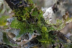 Lungwort Lichen and Fern Moss