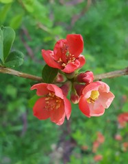 Japanese quince (Iggy Y) Tags: chaenomeles japonica spring flowers blossom red flower plant branch japanska dunja japanskadunja japanese quince day light