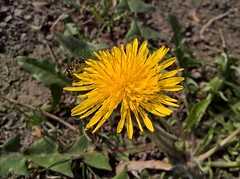 WP_20170325_08_46_05_Pro (vale 83) Tags: dandelion microsoft lumia 550 friends macrodreams flickrcolour wpphoto wearejuxt thebestyellow autofocus coloursplosion colourartaward beautifulexpression yourbestoftoday