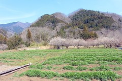 (Asa-moya) Tags: mtyogai要害山536m mtozuku尾続山538m 上野原市 uenoharacity 山梨県 yamanashiprefecture japan 05apr2017