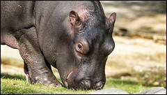 _SG_2017_04_5010_IMG_2514 (_SG_) Tags: nachwuchs baby newblood offspring newborn new born flusspferd nilpferd hippo hippopotamus hippopotamuses hippopotami
