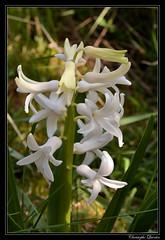 Jacinthe (Hyacinthus orientalis) (cquintin) Tags: plantae liliopsida magnoliophyta liliidae liliales liliaceae hyacinthus orientalis jacinthe hyacinth