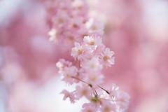 ヤエベニシダレ (qrsk) Tags: flower blossom petal pink bokeh spring cherryblossom 桜 ヤエベニシダレ 花 ピンク