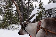 DAV_0421 Reno tirando de un trineo (David Barrio López) Tags: arbol tree pino siida sajos sami circulopolarartico arcticcircle holidayvillageinarihotel lomakyläinari reno reindeer poro trineo nieve snow aurora boreal auroraboreal northernlights auroraborealis polarlights inari ivalo laponia lapland finlandia finland nikon d610 nikond610 fullframe nikkor2470mm 2470mm afsnikkor2470mmf28ged davidbarriolópez davidbarrio