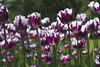 _DSC0731 (Riccardo Q.) Tags: parcosegurtàtulipani places parco altreparolechiave fiori tulipani segurtà