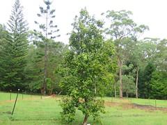 Xanthostemon oppositifolius 5 (barryaceae) Tags: booderee national park jervis bay nsw australia arfps australian rainforest plant