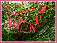 Showy flowers of Russelia equisetiformis (jayjayc) Tags: russeliaequisetiformis red scarlet shrubs malaysia kualalumpur flowers floweringplants firecrackerplant coralfountainplant coralblow fountsinplsnt flickr17 jaycjayc