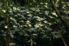 Buschwindröschen (Anemone nemorosa) an einem Sorge-Vorfluter; Bergenhusen, Stapelholm (123) (Chironius) Tags: stapelholm schleswigholstein deutschland germany allemagne alemania germania германия szlezwigholsztyn niemcy blüte blossom flower fleur flor fiore blüten цветок цветение weis ranunculales hahnenfusartige ranunculaceae hahnenfusgewächse ranunculoideae anemoneae windröschen anemone buschwindröschen bergenhusen