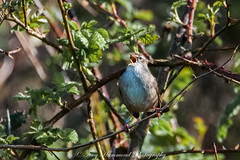 Cetti's Warbler in Full Song (phat5toe) Tags: cettiswarbler cettiacetti birds avian feathers wildlife nature wigan flashes greenheart nikon d300 tamron150600mm