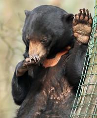 sunbear Ouwehands BB2A2255 (j.a.kok) Tags: beer bear maleisebeer mammal sunbear honingbeer honeybear malayan maleisie asia azie zoogdier ouwehands ouwehandsdierenpark