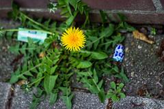 Dandelion © Inge Hoogendoorn (ingehoogendoorn) Tags: dandelion dandelions flower flowers bloem bloemen paardebloem paardenbloem trash garbage afval zwerfvuil mascotte geel yellow stilleven stillife mentos