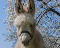 Look, it's Spring ! (FocusPocus Photography) Tags: esel donkey tier animal wuschelig fluffy frühling spring