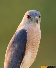 Shikra - CBE (sibi ar ( I'm BACK :)) Tags: littlebandedgoshawk accipiterbadius shikra india coimbatore