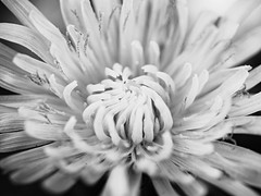 S'ouvrir (steph20_2) Tags: panasonic lumix gh3 45mm macro closeup flower fleur monochrome monochrom noir noiretblanc ngc blanc black bw white skanchelli