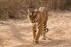 1613 Day 8 Tigers (brads-photography) Tags: headon india male nationalpark pantheratigristigris rajasthan ranthambore royalbengaltiger sawaimadhopur starmale t28 tiger tigerreserve walking wildlife