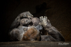 Nap time! (ToddLahman) Tags: kokamo littleleslie little leslie baby babygorilla gorilla westernlowlandgorilla sandiegozoosafaripark safaripark canon7dmkii canon canon100400 closeup nap mammal outdoors