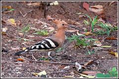 6845 - common hoopoe (chandrasekaran a 40 lakhs views Thanks to all) Tags: commonhoopoe hoopoe birds nature india chennai canon powershotsx60hs