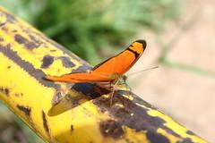 Borboleta bairro São João JM - Wir Caetano - 26 04 2017 (11) (dabliê texto imagem - Comunicação Visual e Jorn) Tags: borboleta inseto amarelo escada ferrugem