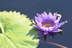 Colors...Water Lily with pad (stevelamb007) Tags: chicagobotanicgarden illinois flower waterlily colors stevelamb nikon d7200 pond