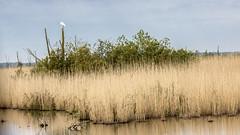 Oostvaardersplassen (Hans van der Boom) Tags: nederland netherlands ijsselmeerpolders flevopolder oostvaarderplassen animal reiger heron egret lelystad nl
