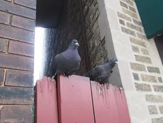 pigeons, downtown Evanston (katherine of chicago) Tags: evanston pigeons birds