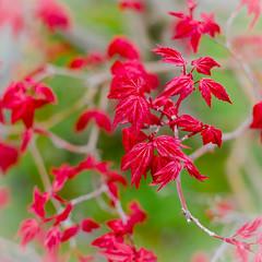 "Acer palmatum 'Deshojo' (Stephen Reed. ""Over 1 Million Views Thanks"") Tags: botanic bonsai nikon d7000 lightroomcc leaves rhswisley surrey spring"